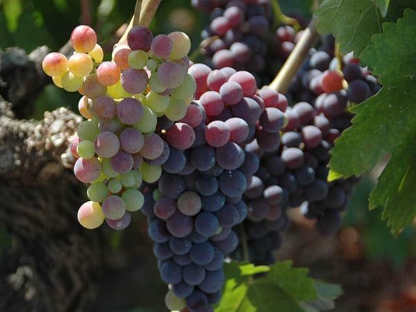 Druiven - Tenuta Madonnina - Vakantiehuis Sicilie